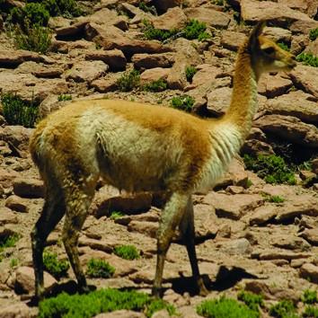 Flora Y Fauna Portal Tur 237 Stico De San Pedro De Atacama Chile